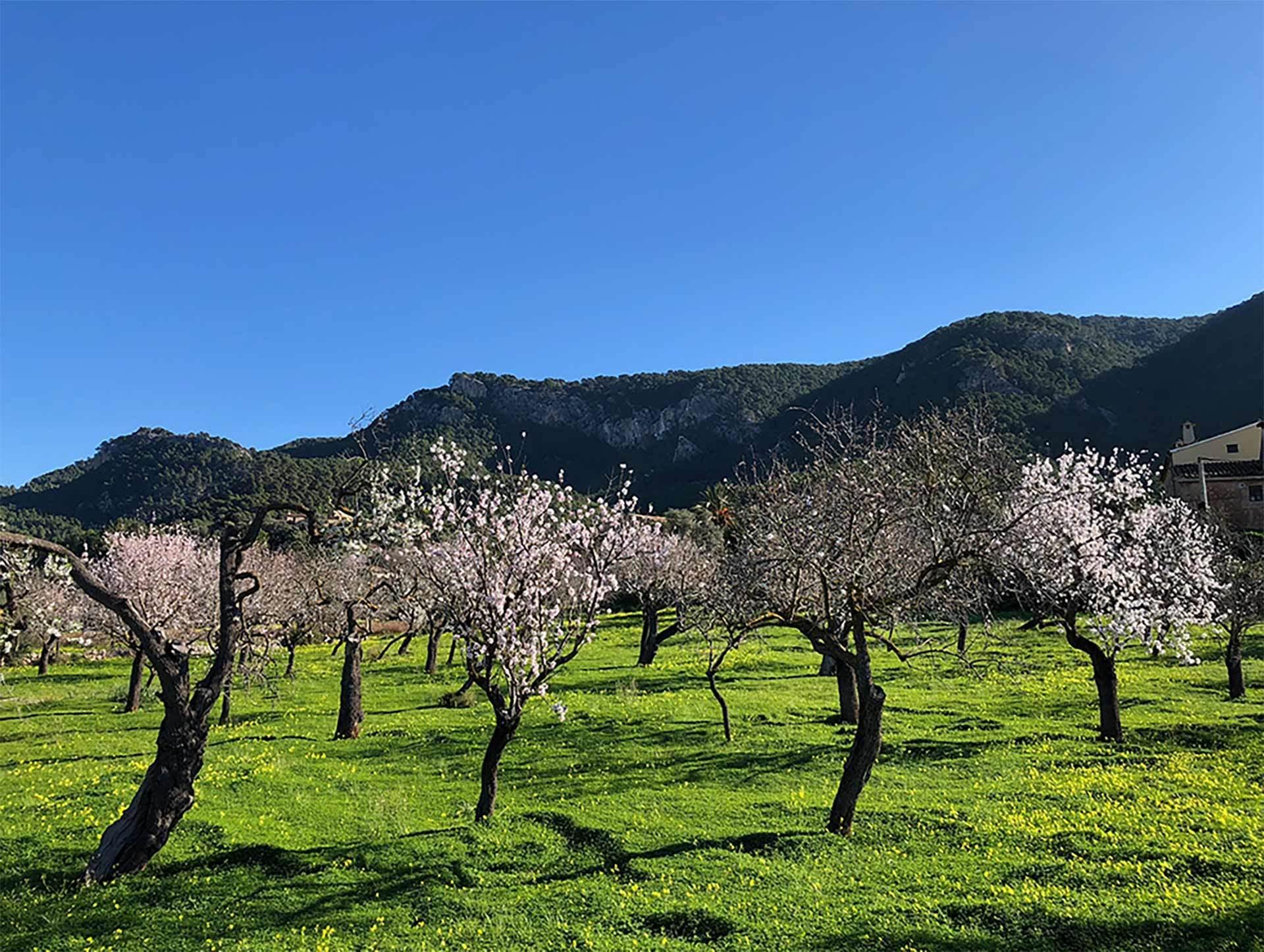 Almond Blossom Andratx