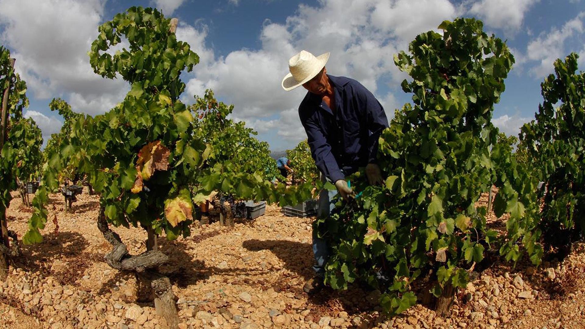 Bodegas Ribas vineyard mallorca 1