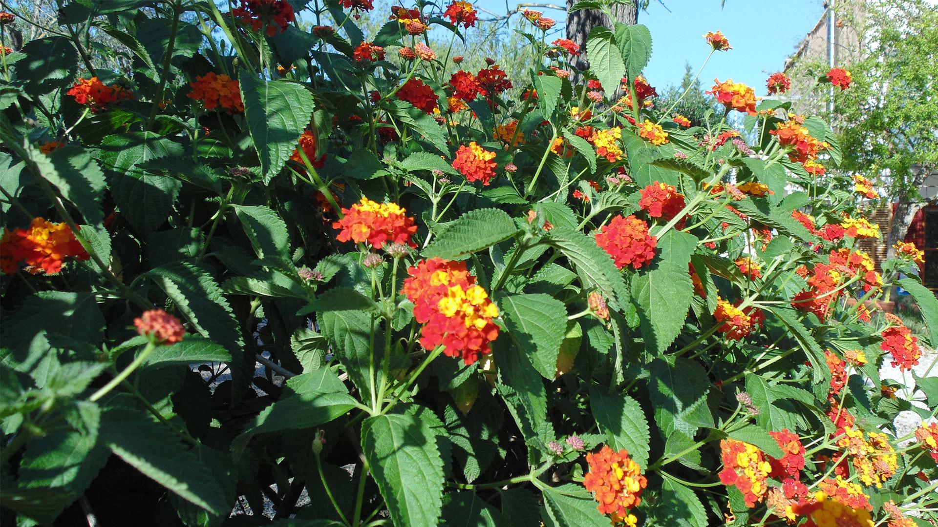 Lantana Autumn garden