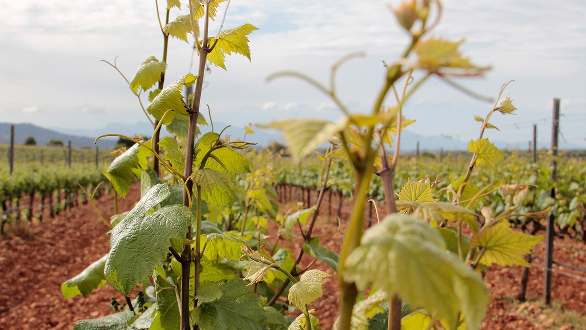 Pere Seda vineyard grapes Mallorca