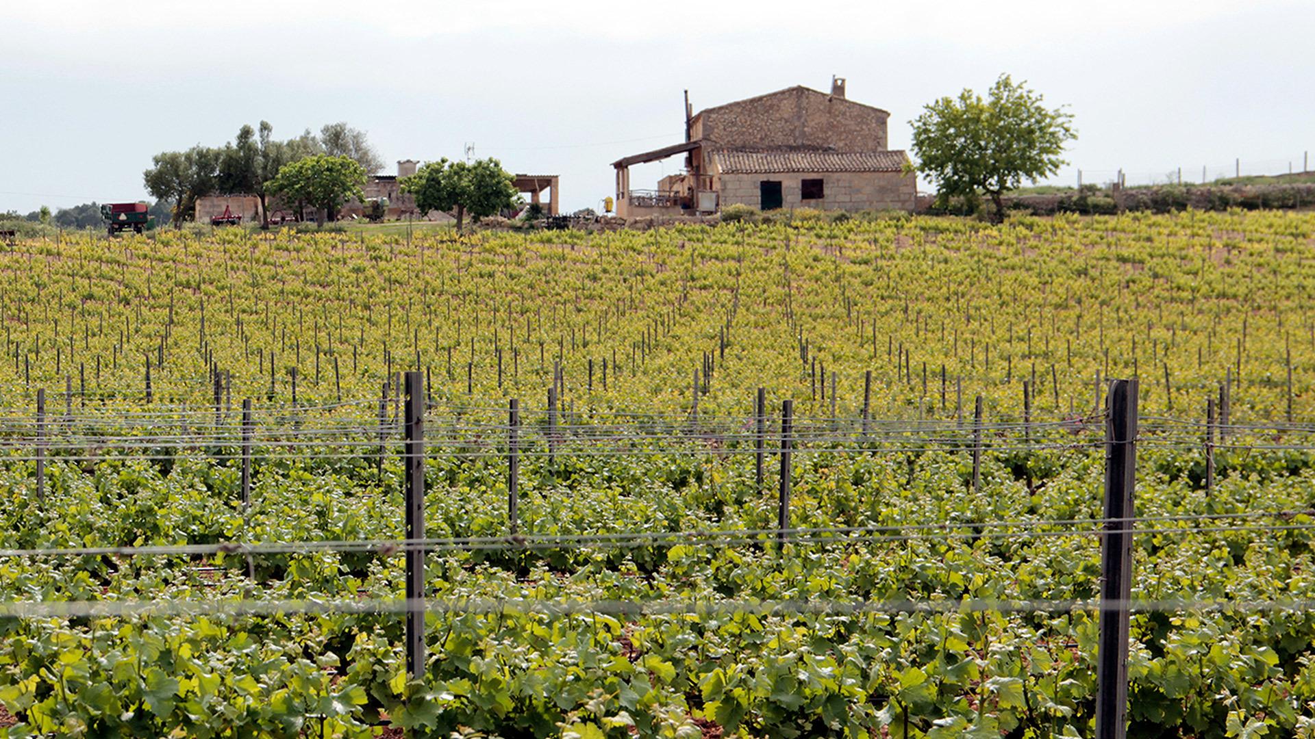 Pere Seda vineyard mallorca