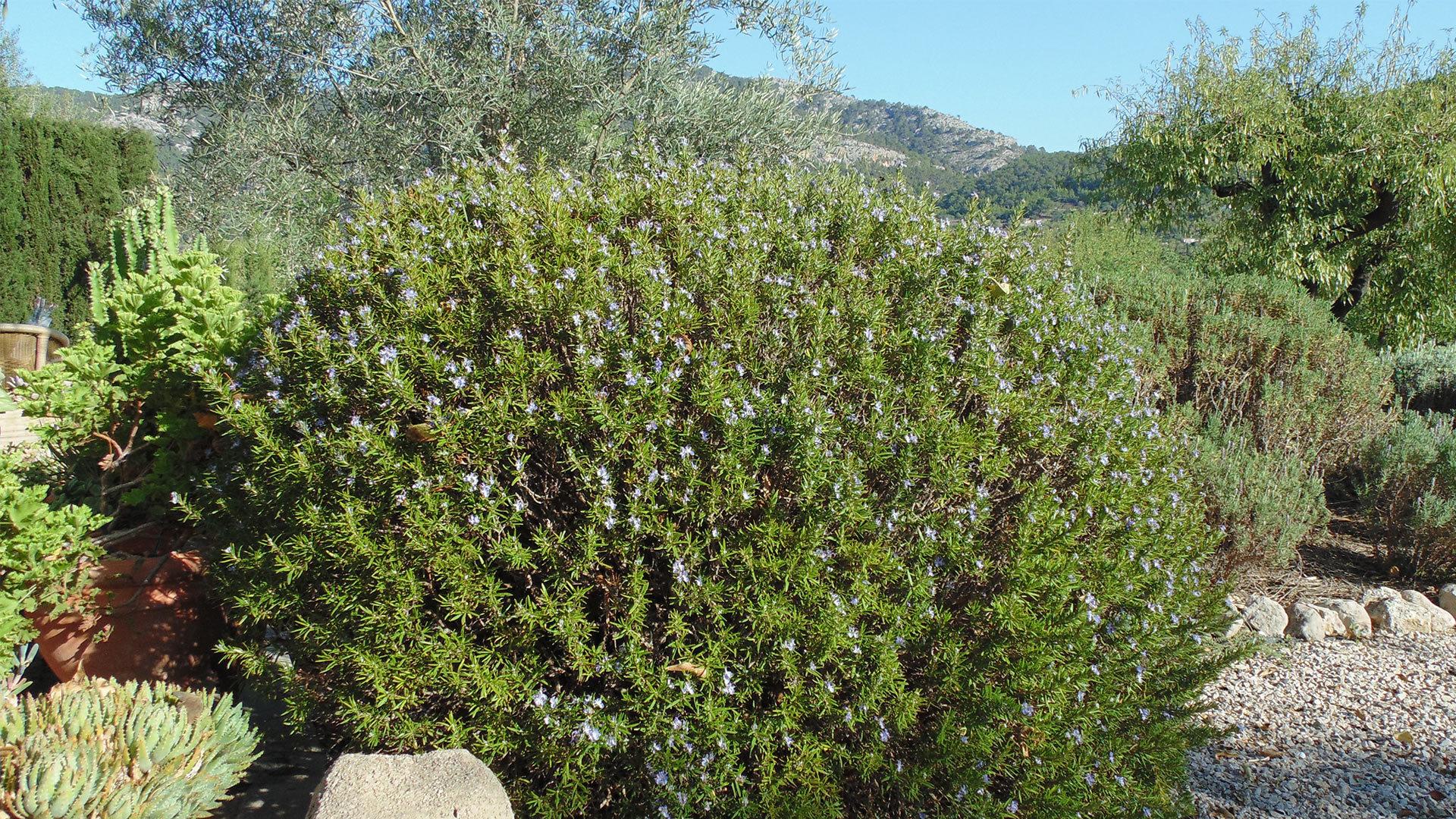 Rosemary autumn garden